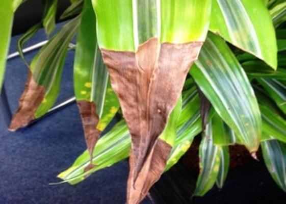 драцена сохнут кончики листьев