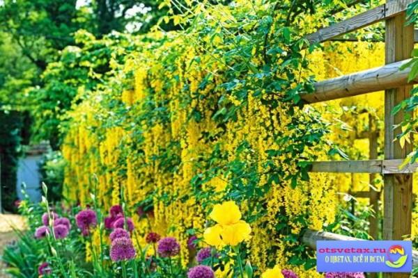 вьющиеся растения для забора быстрорастущие купить украина