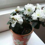 цветы комнатные цветущие фото и названия азалия