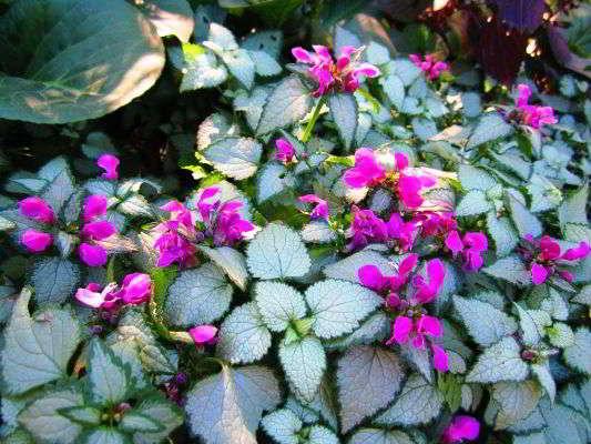 название многолетних цветов