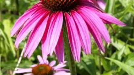 Эхинацея: лечебные и полезные свойства, противопоказания