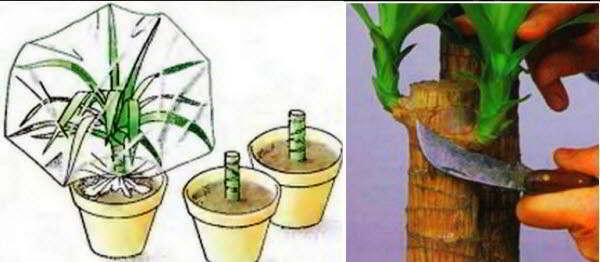 юкка размножение в домашних условиях есть воздушные корни