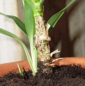 Как размножать юкку в домашних условиях фото пошагово