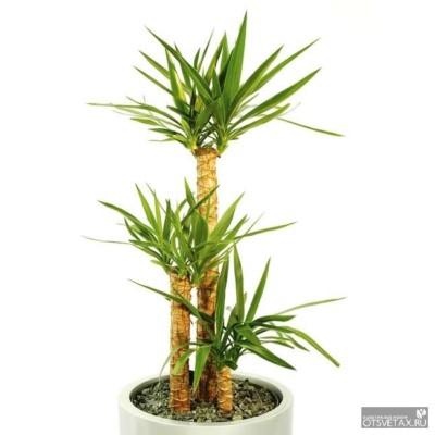 уход за пальмой юкка в домашних условиях