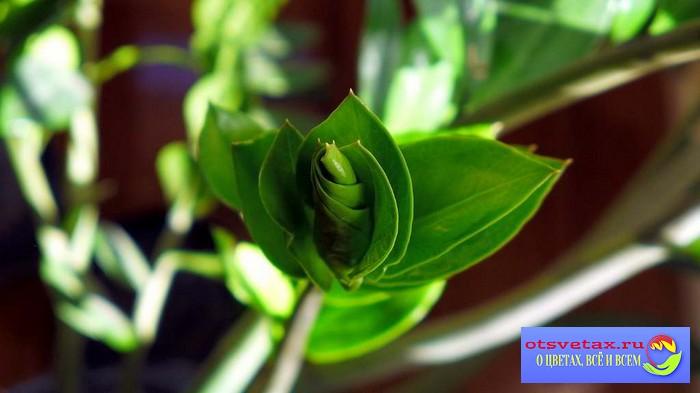 Замиокулькас цветок уход в домашних условиях