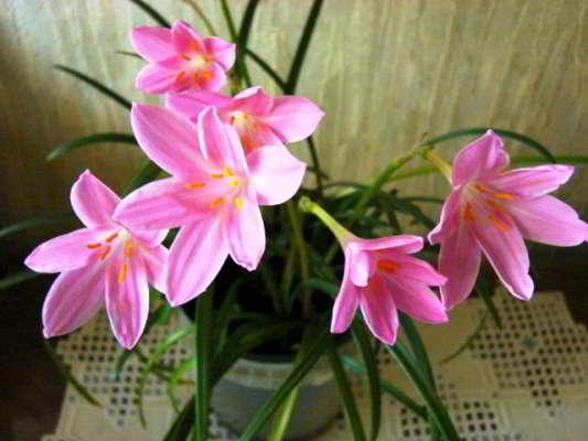 комнатные луковичные цветы фото и названия цветущие