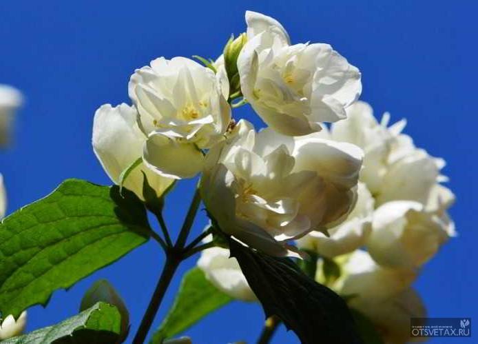 жасмин садовый посадка и уход фото форум