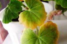 Почему у комнатной герани желтеют листья. Как с этим бороться