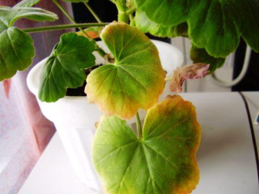 листья герани желтеют по краям