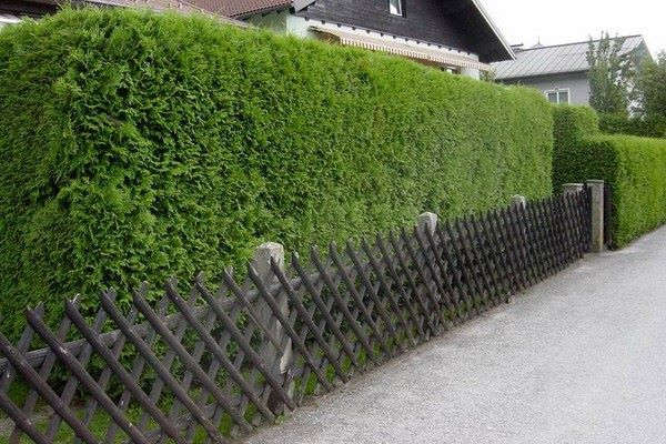 быстрорастущие декоративные кустарники для дачи