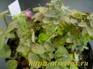 паутинный клещ +на комнатных растениях
