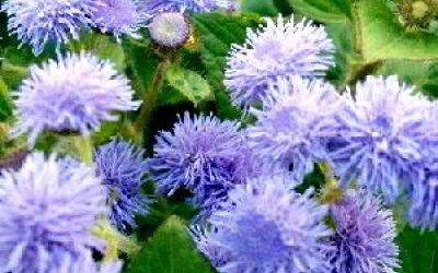 Как вырастить садовые цветы агератум?