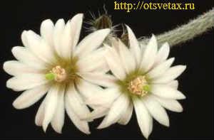 Вилкоксия позельгери1