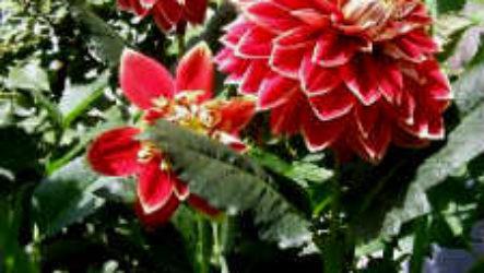 Как вырастить садовые цветы георгины (видео)