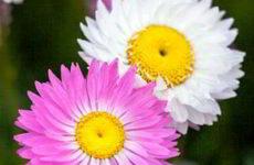 Садовые цветы гелиптерум (акроклиниум)