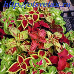 Цветы колеус на даче