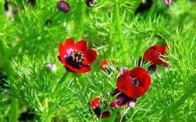 Выращиваем адонис летний