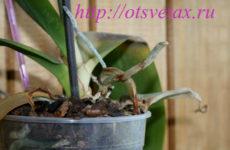 Что делать, если у орхидеи сохнут корни