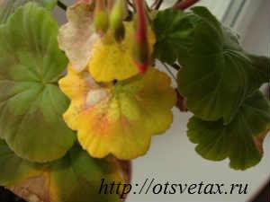 растение герань
