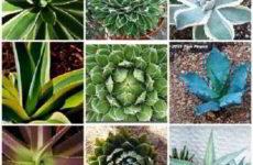 Какой вид агавы лучше выбрать для домашнего выращивания