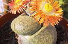 Гиббеум – растение суккулент