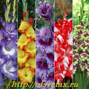 садовые цветы гладиолусы1