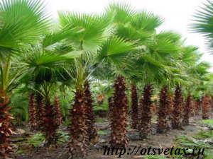 комнатное растение пальма вашингтония