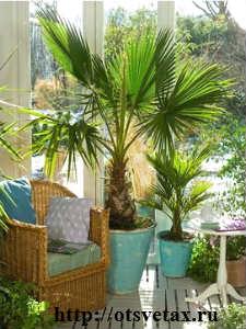 комнатное растение вашингтония фото