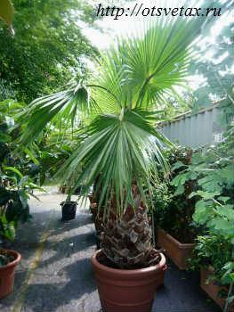 комнатное растение вашингтония как ухаживать