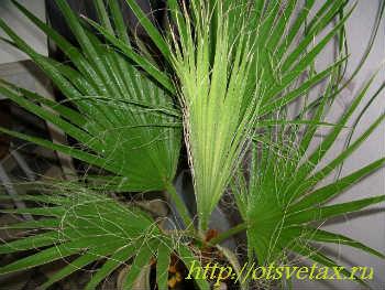 комнатное растение вашингтония уход
