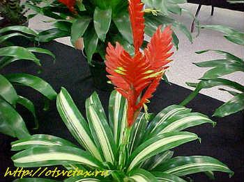 комнатные растения вриезия уход