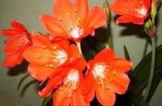 Растение валотта – основы выращивания в домашних условиях