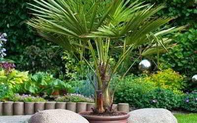 Пальма трахикарпус форчуна что это за растение