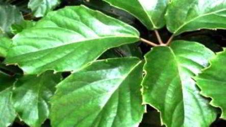 Комнатное растение тетрастигма вуанье или комнатный виноград