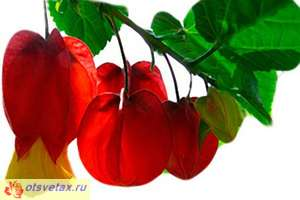 цветы комнатные абутилон болезни