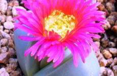 Аргиродерма виды и фото растения