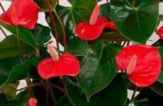 """Сказка о цветке антуриум на фотоконкурсе """"Цветы в моём доме"""""""