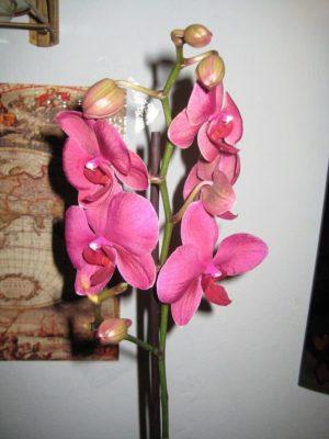 комнатный цветок орхидея