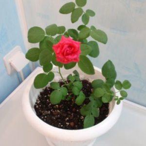 """Роза комнатная в фотоконкурсе """"Цветы в моем доме"""""""