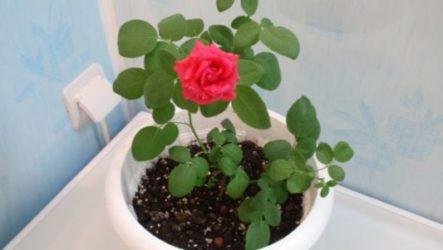 Роза комнатная в фотоконкурсе «Цветы в моем доме»