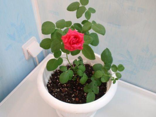 цветок роза фото