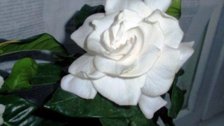 Комнатный цветок гардения