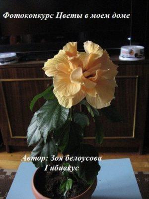 цветок гибискус