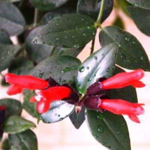 Комнатное растение эсхинантус Мона Лиза