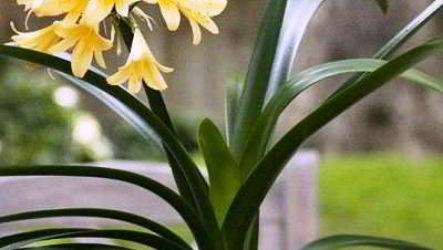 """Кливия – комнатная красавица в фотоконкурсе """"Цветы в моем доме"""""""