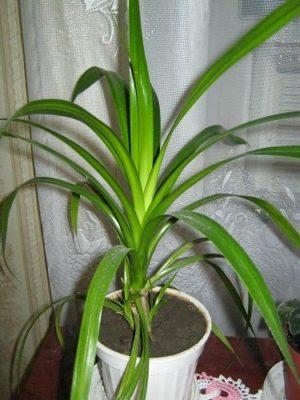 цветы пальма