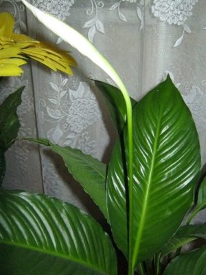 цветы спатифиллум уход