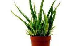Алоэ: комнатное растение-целитель