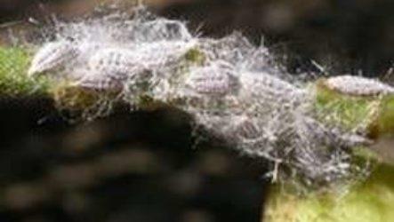 Как бороться с мучнистым червецом на комнатных растениях