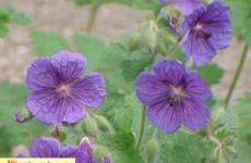 Герань выращивание, уход, размножение, виды, цветение